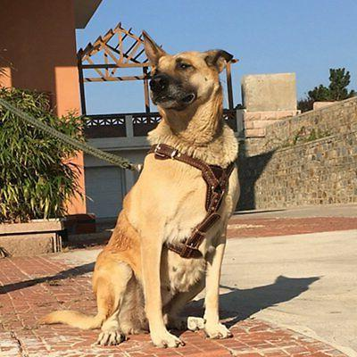Ultrafun Dog Pitbulls Large Adjustable Leather