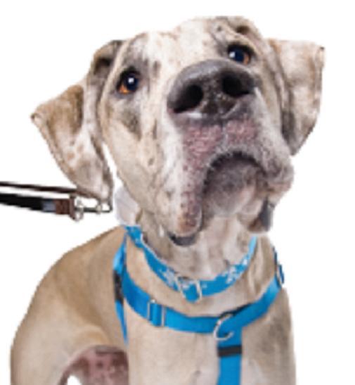"PULL Dog TURQUOISE 22-28"""